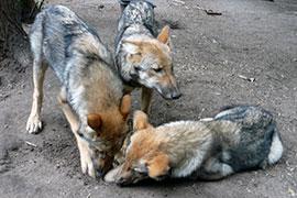 Am Anfang war der Wolf